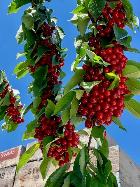 heavy cherry cluster with bins