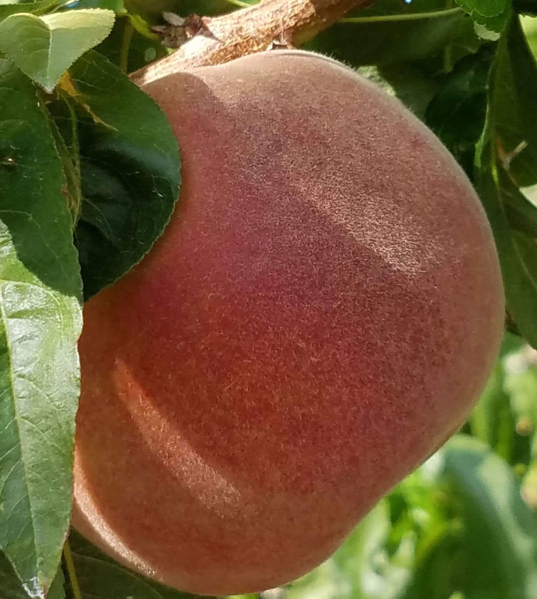 large single peach cropped